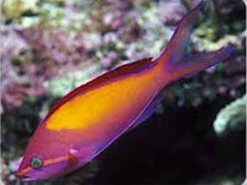 anthias carberreyi
