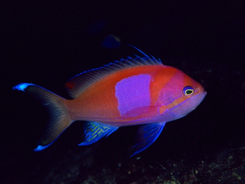 anthias plerotaenia male
